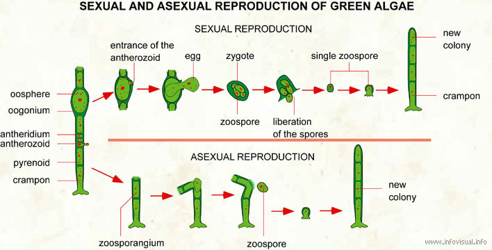 Reproduction of green algae