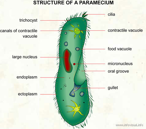 Is the food vacuole on a paramecium the same as an oral groove?