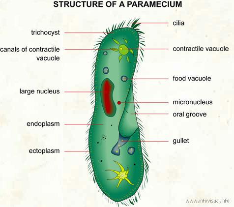 paramecium visual dictionary : paramecium diagram - findchart.co
