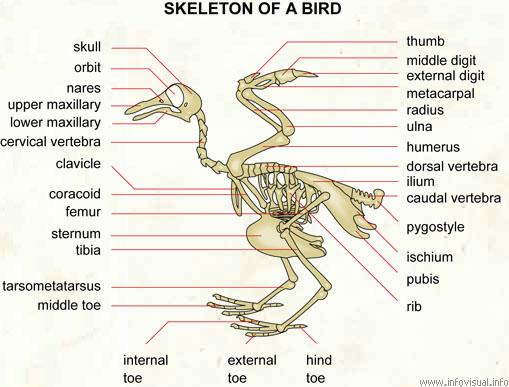 skeleton of a bird visual dictionary : bird skeleton diagram - findchart.co